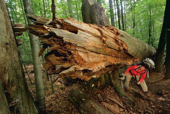 Im Nationalpark Bayerischer Wald bleibt der Wald weitestgehend sich selbst überlassen. Totholz ist ein wertvolles Refugium für Kleinstlebewesen. (Foto: djd)
