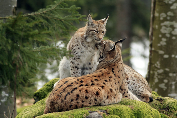 Im Nationalpark Bayerischer Wald fühlen sich auch die scheuen Luchse wohl. (Foto: djd)