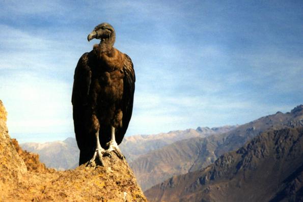 In Ecuadors Nationalpark El Cajas leben die letzten 80 Andenkondore der Welt. (Foto: Ester Inbar)