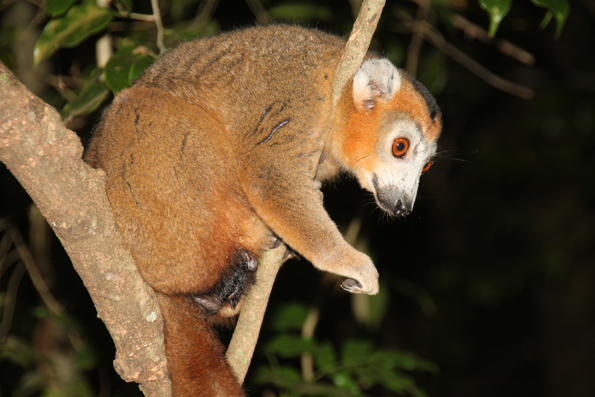 Acht Lemuren-Arten sind im Ankarafantsika-Nationalpark heimisch. (Foto: Karsten-Thilo Raab)