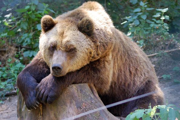 """Braunbär """"Lothar"""" fristete früher ein trauriges Dasein auf Beton - inzwischen genießt er ein richtiges Bärenleben im Bärenwald Müritz. (Foto: djd)"""