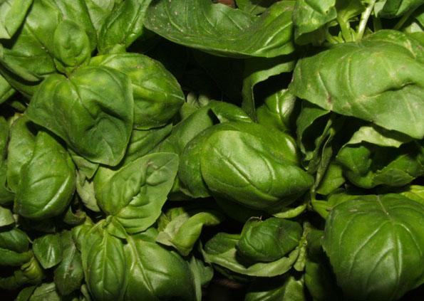 Frisches Bassilikum ist der wichtigste Bestandteil für ein exzellentes Pesto.