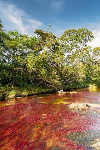 Der Caño Cristales ist mit seinem Farbenspiel einer der schönsten Flüsse Südamerikas. (Foto: Hasselkus)