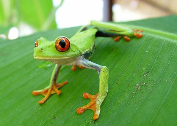 Zentralamerika besticht durch eine atemberaubende Flora und Fauna. Zu sehen sind hier - wie in Costa Ricas - unter anderem giftgrüne Frösche.