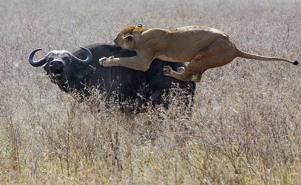 Durch das Anwachsen von Ackerbau und Viehzucht wird der natürliche Lebensraum für Löwen in Westafrika immer kleiner. (Foto: Diamond Glacier Adventures)