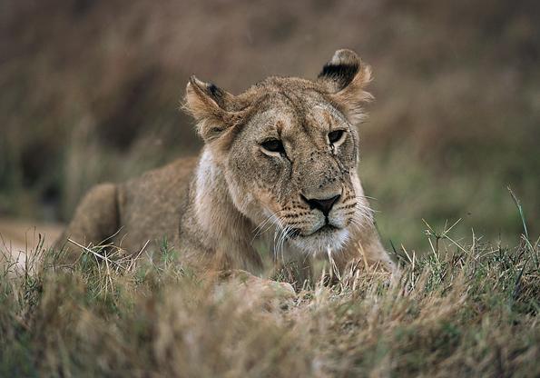 In ganz Westafrika sind heute lediglich noch 400 Löwen zu finden - Tendenz sinkend.