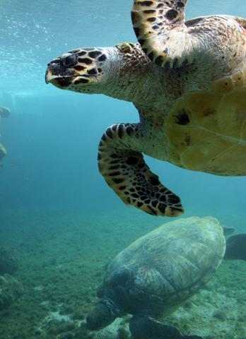 """Taucher schätzen die """"tierischen Begegnungen"""" in den Gewässern rund um La Réunion. (Foto Thierry Caro)"""