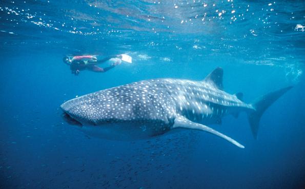 Am Ningaloo Reef können Wagemutige mit Walhaien schwimmen gehen.