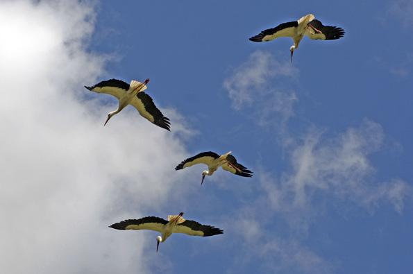 Die Störche fliegen im wahrsten Sinne des Wortes auf (und über) Alcalá de Henares.