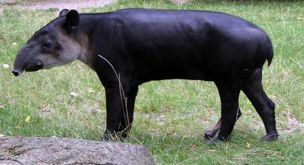Der Tapir ist in den Regnwäldern von Suriname zuhause.