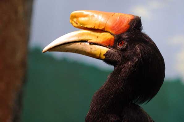Zu den markantesten Vogelarten in diesem Teil Malaysias gehört der Nashornvogel.