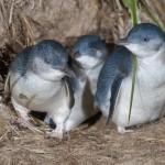 Blick ins Pinguin-Schlafzimmer von Phillip Island