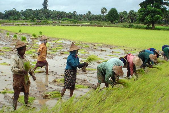 Der Reisanbau spielt noch immer eine große Rolle in der Wirtschaft Myanmars.