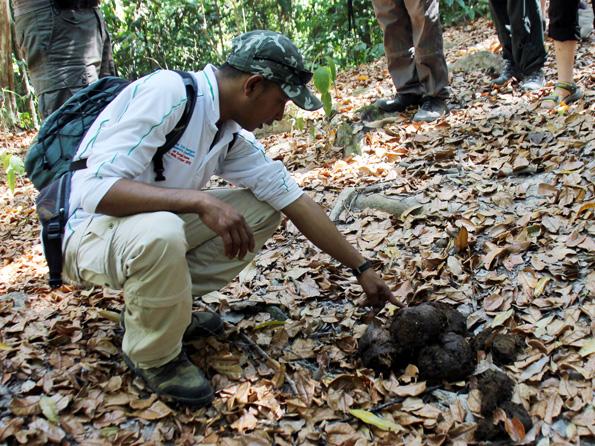 Ranger Salhin untersucht Elefanten-Dung im Royal Belum Rainforest. (Foto: Karsten-Thilo Raab)