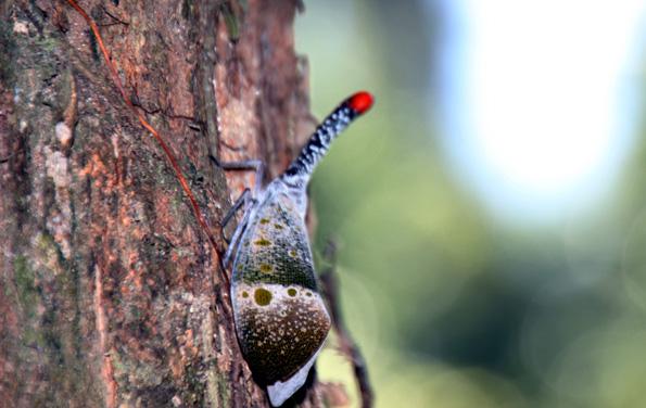 Im Regenwald von belum finden sich jede Menge merkwürdige Lebewesen wie dieser Käfer. (Foto: Karsten-Thilo Raab)