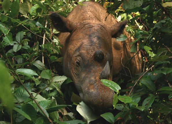 Durch den dicht bewaldeten Regenwald von Belum ziehen die seltenen Sumatra-Nashörner.