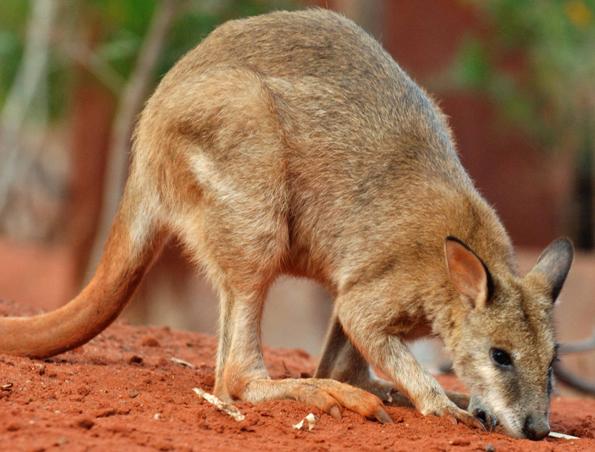 Tierische Begenungen sind in Australiens Nationalparks vorprogrammiert.