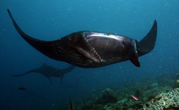 Indonesien richtet weltweit größtes Schutzgebiet für Mantarochen ein. (Foto Visit Indonesia Tourism Office)