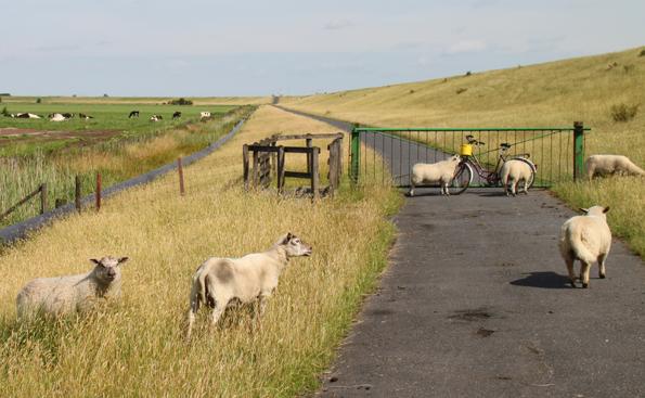 Frieslands Deichschafe sind  - wie hier auf dem Ems-Radweg bei Ditzum - für die Graspflege entlang der Deiche zuständig. (Foto: Karsten-Thilo Raab)