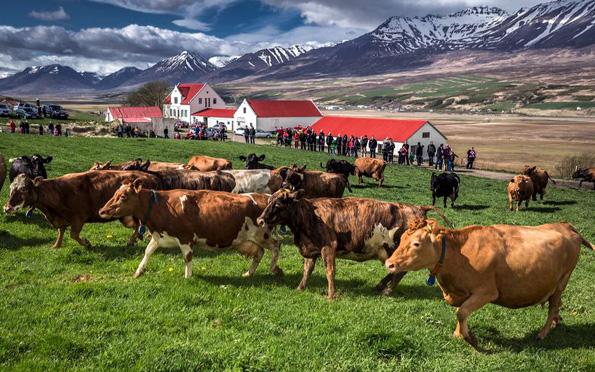 Tierisch was los ist auch auf den isländischen Bauernhöfen. (Foto: Ragnar Th. Sigurdsson)