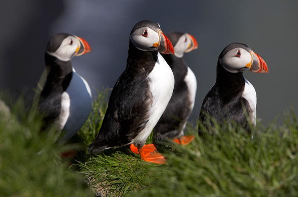 Papageientaucher gehören zu faszinierenden Vögeln, die sich auf Island aus nächster Nähe in Augenschein nehmen lassen. (Foto: Ragnar Th. Sigurdsson)