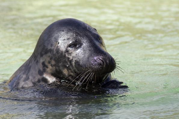 Kegelrobben fühlen sich im Weltnaturerbe Wattenmeer pudelwohl. (Foto: Martin Stock)