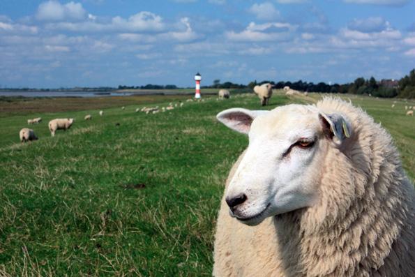 Die bblökenden Deichbewohner werden in zahlreichen Orten Friesland gefeiert. (Foto: Alexander Seidlich)