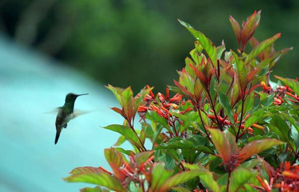 Der Kolibri lässt sich in Panama aus nächster Nähe beobachten.