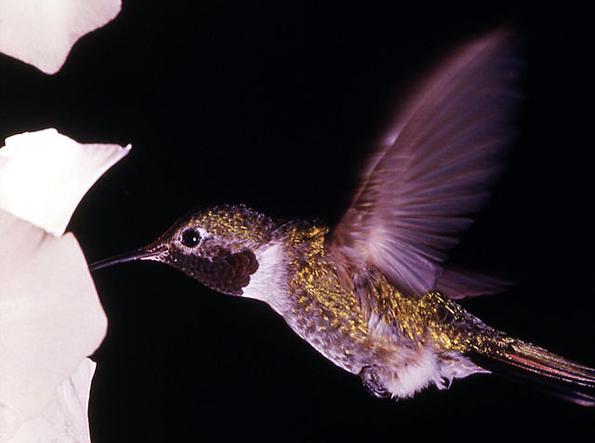 Fasziniert mit seinem langen Schnabel und dem schnellen Flügelschlag: Der Kolibri.