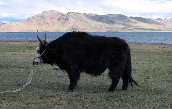 Wichtige Nahrungsquelle in der Mongolei: Die Yak-Rinder.