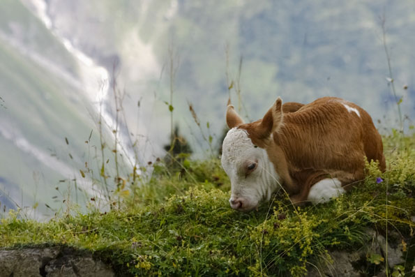 Tierische Begenungen sind in der Bergwelt rund um Mürren an der Tagesordnung. (Foto: Udo Haafke)