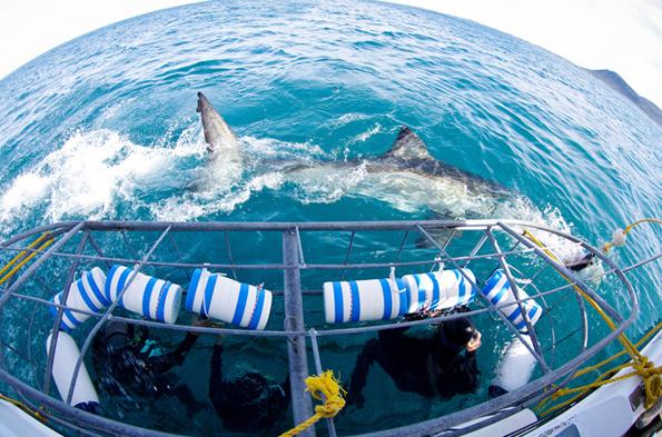 Ganz Wagemutige können in einem Käfig Haie in der Shark Alley aus nächster Nähe in Augenschein nehmen.