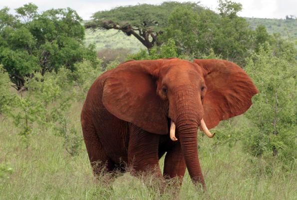 Die Kriegsschauplätze des Ersten Weltkriegs verliefen unweit des heute für seinen Elefanten-Reichtum bekannten Gebietes um die Elefant in den Taita Hills. (Foto: Muriuki Muriithi)