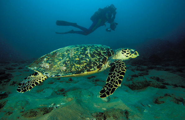 Bei Tauchgängen sind immer wieder auch riesige Meeresschildkröten zu entdecken. (Fotos South Africa Tourism)