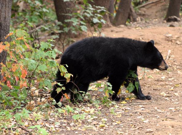 Faszinierend aus sicherer Distanz zu beobachten: Schwarzbären in Arizona. (Foto: Karsten-Thilo Raab)