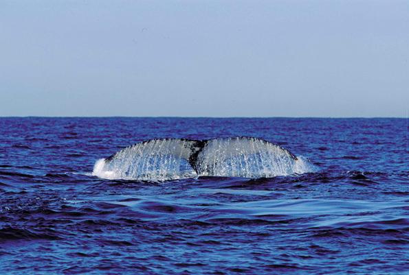 Wale gehören zu den Big Five des Meeres die sich vor der Küste Südafrikas von Juni bis Dezember beobachten lassen.