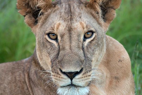 Nach dem Willen der Planer sollen Besucher im Kora Nationalpark künftig auch Löwen aus nächster Nähe beobachten können. (Fotos: Kenya Tourism Board)