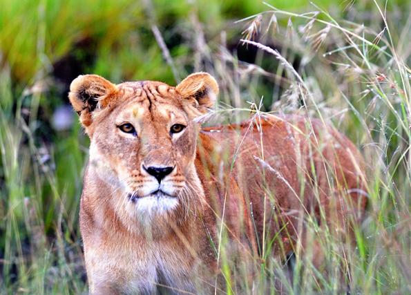 In Kenias Kora Nationalpark sollen Löwen künftig besonders geschützt sein.