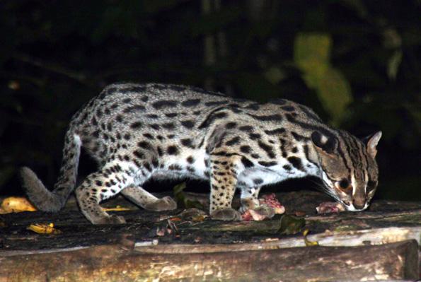 Bei der Nachtsafari im Taiping Zoo lassen sich Raubkatzen bei ihren nächtlichen Streifzügen beobachten. (Foto: Karsten-Thilo Raab)
