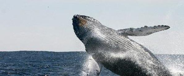 Äußerst imposant: die riesigen Buckelwale bei ihren Sprüngen aus dem Wasser.
