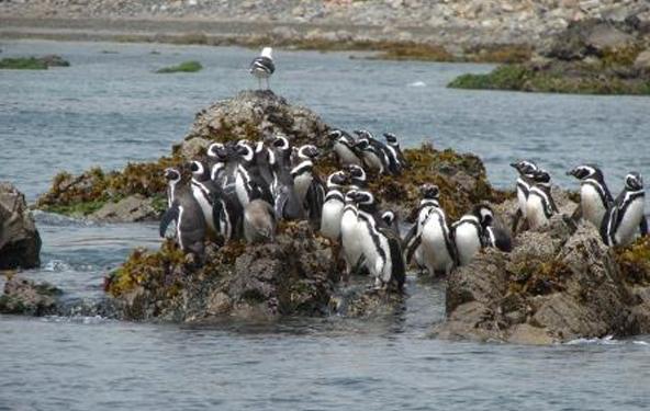 Insbesondere rund um  die Inseln von Puñihuil sind zahlreiche Pinguin-Kolonien anzutreffen.