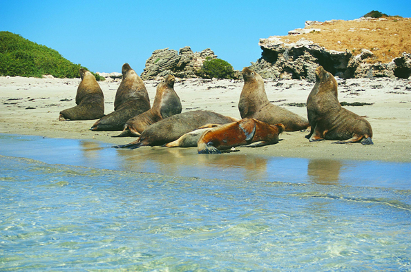 Vor der Küste von vor der Küste von Perth, Albany oder Esperance lassen sich die mächtigen Seelöwen ganzjährig beobachten. (Foto Tourism Western Australia)