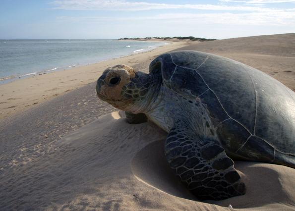 Riesige Schildkröten kommen nicht nur am Ningaloo Reef zur Eiablage an Land. (Foto Tourism Western Australia)