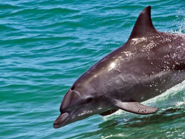 Delfine finden sich zu Hauf vor der Küste Westaustraliens. Besonders rund um Bunbury und Rockingham lassen sie sich häufig blicken. (Foto Tourism Western Australia)