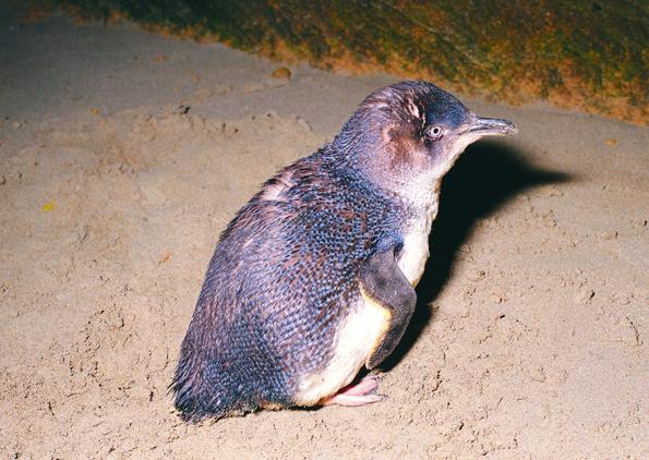 Die Zwergpinguine tummeln sich vornehmlich rund um den Shoalwater Island Marine Park bei Rockingham. (Foto Tourism Western Australia)