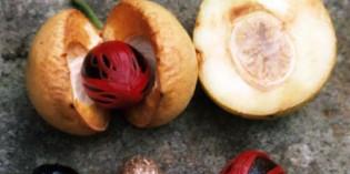 Grenada feiert Muskatnuss- und Gewürz-Festival