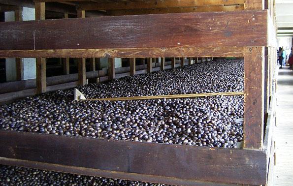 In Trocknungsgittern wie diesen werden auf Grenada die Muskatnüsse nach der Ernte zwischengelagert. (Fotos: Wikipedia)