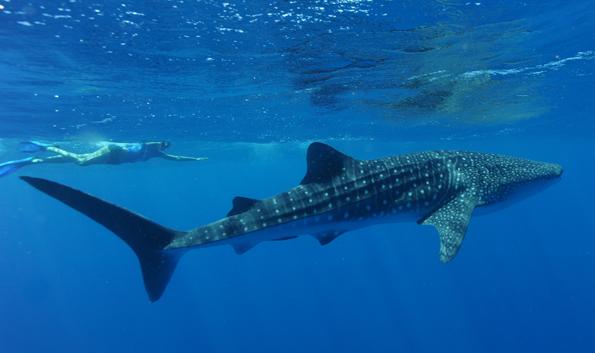 Ein unvergessliches Erlebnis: Schwimmen mit Walhaien am Ningaloo Reef. (Foto James Morgan)