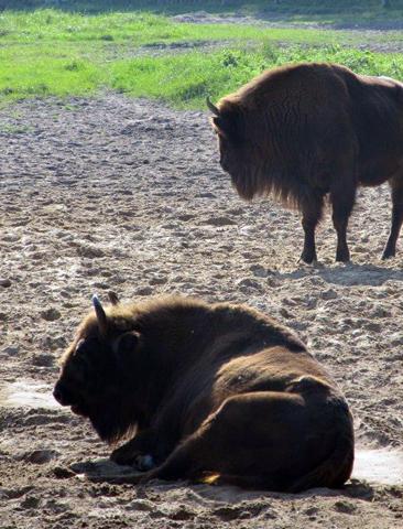 Im Wisent-Reservat auf dem Damerower Werder lassen sich die zotteligen Riesen aus nächster Nähe in Augenschein nehmen. (Foto Gunther Schnatmann)