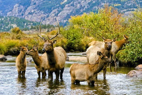 Keine Seltenheit: Wapitihirsche im Rocky Mountain Nationalpark. (Foto Colorado Tourism Office)
